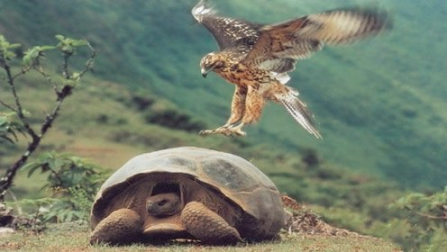 饿急眼的老鹰捕杀乌龟,打开龟壳的手法太高明了,让人不得不佩服