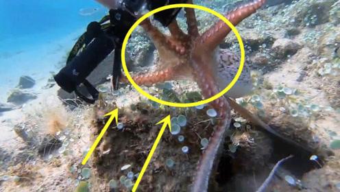 章鱼的吸力有多强?看看这拉伸的撞他就清楚了