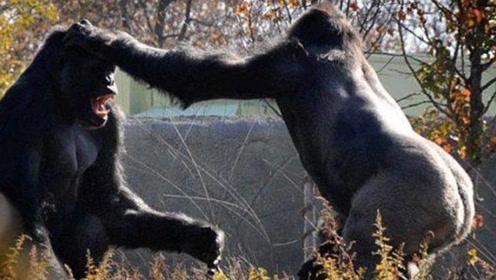 """这才是真正的""""拳击""""比赛,力量惊人的银背大猩猩决斗,真的猛!"""