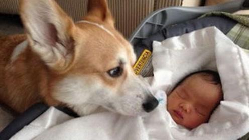 """新生儿刚抱回家,狗狗怎么知道""""他""""就是小主人的呢?看完大开眼界"""