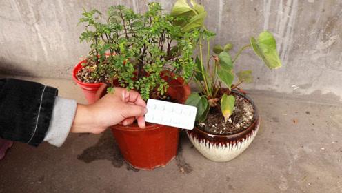 过期维生素C不要丢,用来养花,叶子变绿油,花疯长爆盆