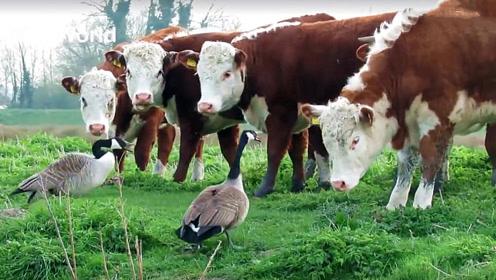野鸭正在秀恩爱,一群奶牛围了过来,下一秒野鸭怒了!