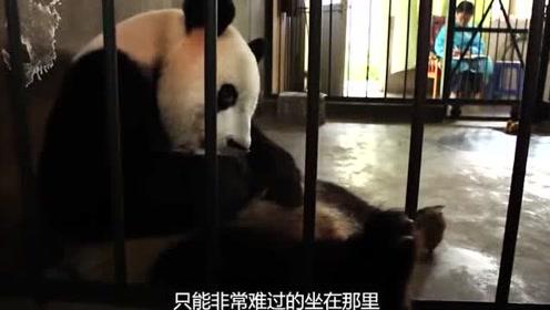 国外的熊猫被遭受不公平对待,不止没有饭吃,孩子还要恶意被抱走