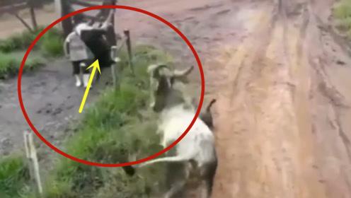 """自不量力,两头条狗找公牛""""决一死战""""!要不是视频这一切谁信"""