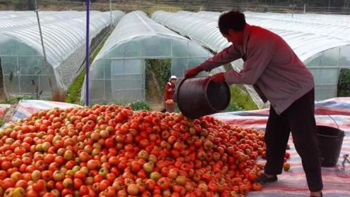 价格低到3毛一斤,成吨烂在地里,商贩压价,农民太苦了