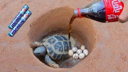 可乐和曼妥思能引诱乌龟出洞?小伙做测试,网友:在哪里找到的洞