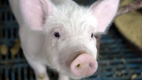 """""""高价猪""""触顶反弹?加拿大进口肉备受关注,看完有数了"""