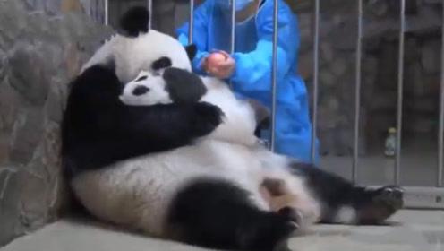 母爱无边?一个苹果就换走两个熊猫宝宝,这家伙也太逗了