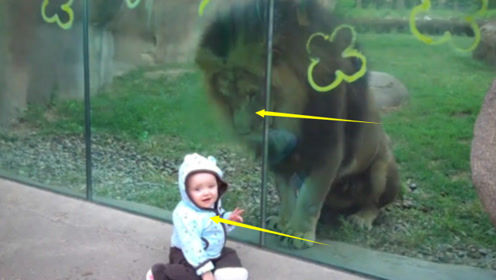 雄狮看到萌宝开始扒玻璃,结果宝宝一回头,狮子反应太搞笑了