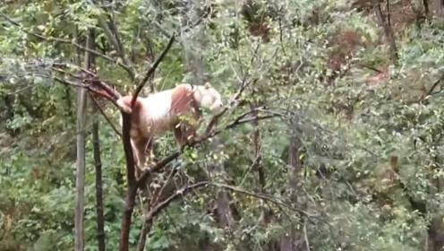 秦岭发现一只神兽,全国只有一只,世界都在羡慕中国!