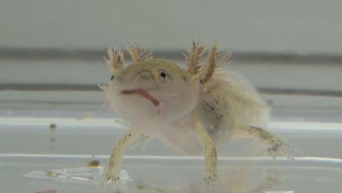 """小伙捡到金黄色蝌蚪,以为是某种青蛙,养大后才发现竟是条""""龙"""""""