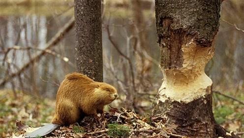 阿尔泰山发现一物种,2小时能咬断碗口粗的树,垒的水坝最长850米