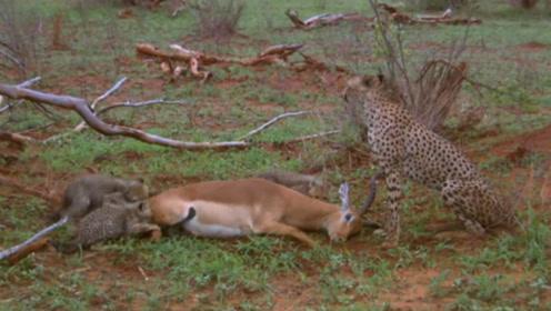"""这只羚羊简直是""""戏精""""附体,装死从4只猎豹口中逃生,这智商太高了"""