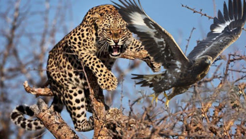 上树抓鹰,豹子只需3秒钟,行云流水般鹰都反应不过来