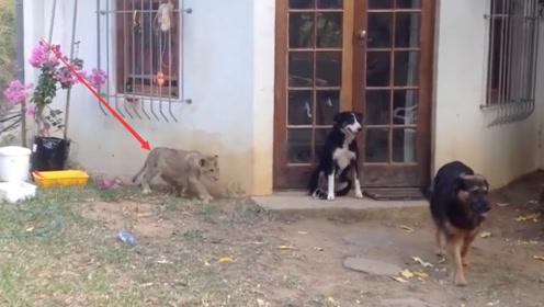 狗狗正在看门护院,转头发现狮子在自己身后,下一秒千万憋住别笑