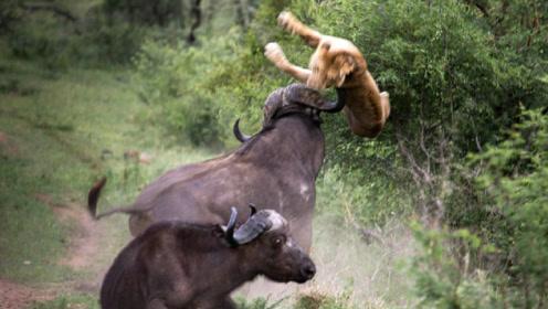 世界上最惨的一只狮子,却被水牛群顶成蜂窝煤,太惨了