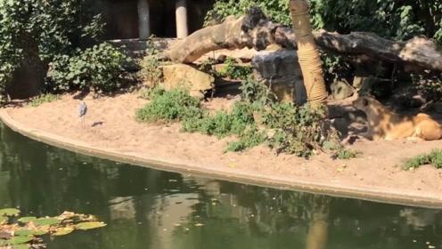 这只白鹭太傻了,直接飞到狮子面前,被狮子一巴掌拍到地上