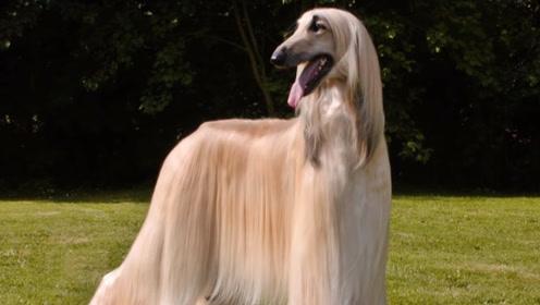 我国为何禁养和销售阿富汗犬,就连有钱人也不行?看完后才明白