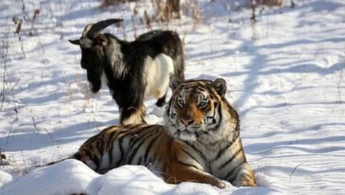 山羊进了老虎窝,以为是羊入虎口,没想到最后还长胖了40斤!