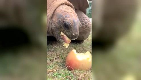 这么大的苹果,一口咬下去,这乌龟吃苹果真在行!