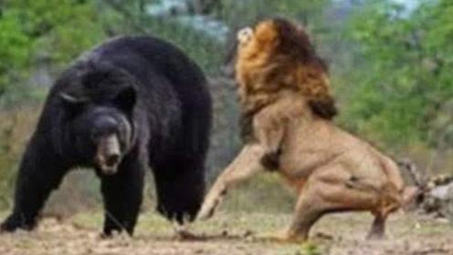 狭路相逢勇者胜,强悍黑熊大战狮王,谁才是真正的王者?