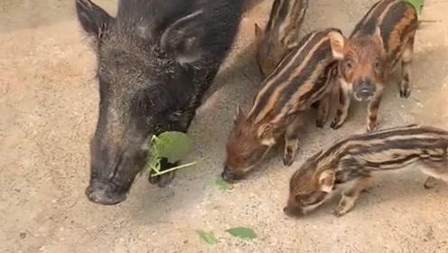 猪肉开始涨价后,居然连它都开始有人养了,你们知道这是什么品种的吗?