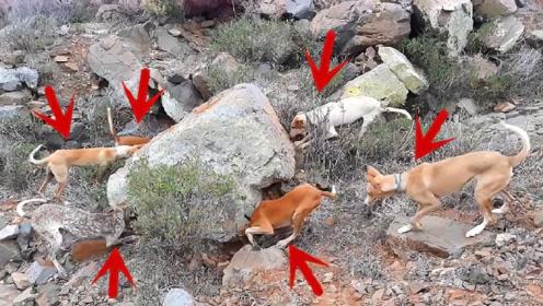 主人带6只狗上山打猎,路过一块大石头时,突然所有狗都狂叫不止
