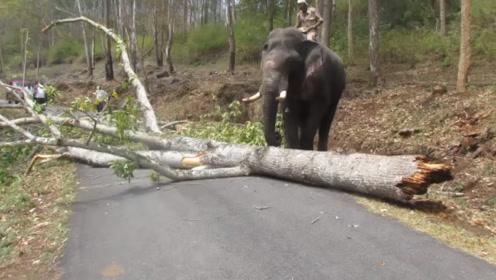 一棵大树拦截了马路,大象见了后走过来,举动让人暖心