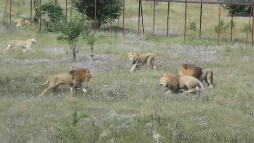 几只雄狮上演了一场狮王争夺战,战斗场面异常激烈!