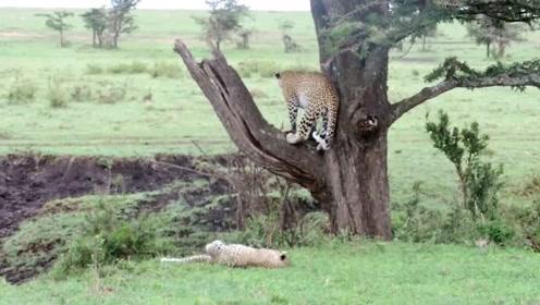 自娱自乐的小豹子,突然发现对面走来一只鬣狗,吓得立马爬上树去寻求庇护