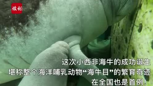 """世界濒危西非海牛珠海成功产子!创造美人鱼""""繁育""""神话!"""