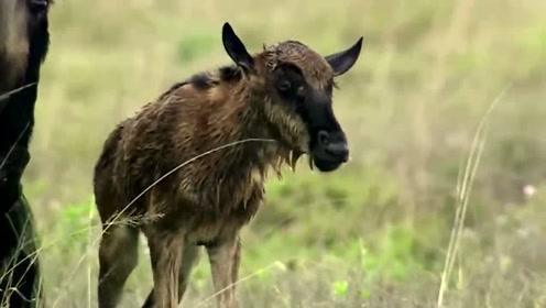 非洲二哥鬣狗盯上了一只新生小角马,倒霉的小角马能否逃过这一劫呢?