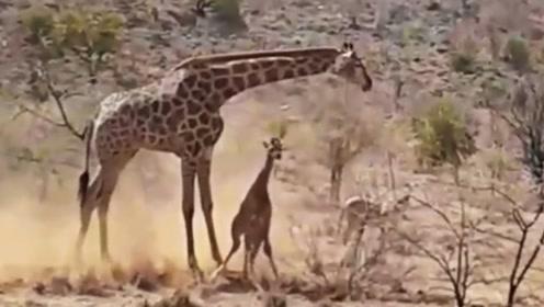 狮子欲捕食长颈鹿幼崽,好在长颈鹿及时赶到,结局却依旧让人泪目