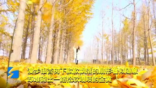 潍坊银杏第一乡迎来最美时节 片片黄叶美如画