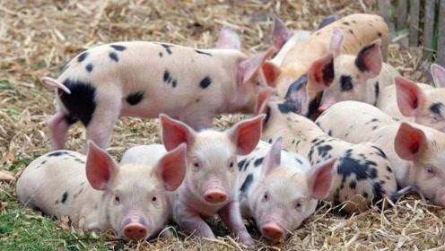 跌了,跌了!元旦春节猪肉要降价!养殖户:慌什么,把猪养大再说