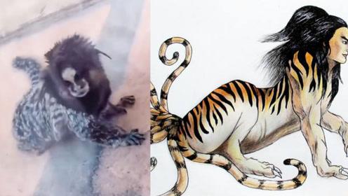 神话照进现实!濒危动物神似《山海经》里的人面兽 有图有真相