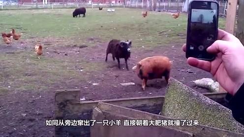 小猪正在悠闲散步,不料小羊突然对它发起攻击,真是飞来横祸呀
