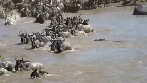 角马群和斑马群蜂拥过河,就知道会有鳄鱼潜伏在那里,就看是哪只马倒霉了!