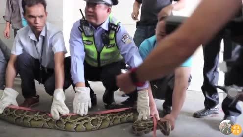 40斤大蟒蛇现身,藏身天花板或有十年,几个壮汉合力将它制服
