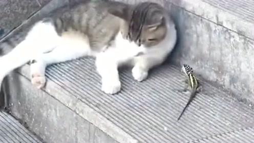 猫咪和蜥蜴玩耍,没想到它居然玩真的,这下可把我给疼坏了!