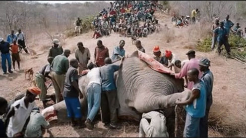 非洲人为什么喜欢吃大象尸体?总算知道真相了,让人泪目!
