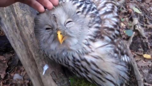 小猫头鹰享受被撸毛服务,舒服得直翻白眼