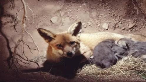 为什么狐狸都喜欢住在坟墓里?真的要成精了吗,真相其实很简单!