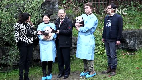 AI合成主播│在比利时出生的大熊猫龙凤胎百天了