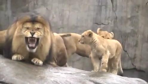雄狮第一次看见自己的后代,小狮子们多可爱呀