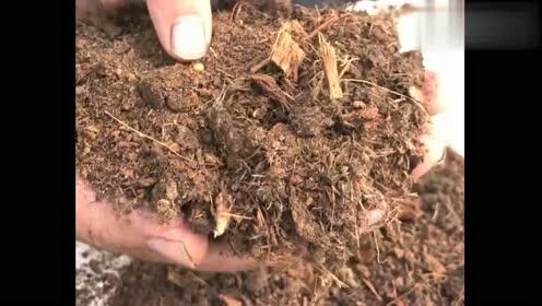 观叶植物换盆常规的套路,真人示范,你现在学会了吗?