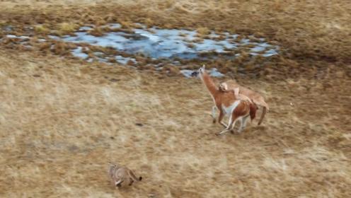 美洲狮被大羊驼完虐,一场追逐下来伤痕累累,羊驼战斗力爆表!