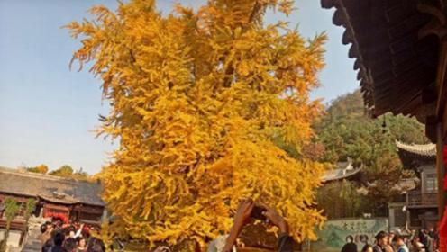 西安古寺千年银杏树国外爆红,入院拍照并非简单,拍照还得签协议!