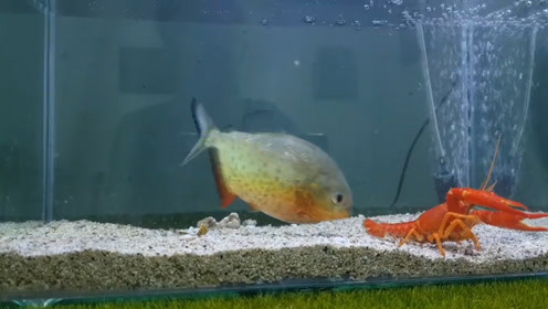 食人鱼饿了十多天有多厉害?扔了一只龙虾进去,场面触目惊心!