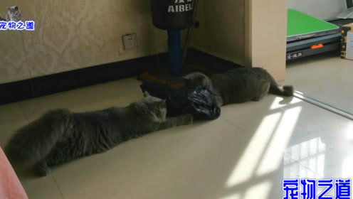 母猫玩塑料袋玩嗨了,小胖猫想偷袭占为己有,猫咪母子俩大打出手